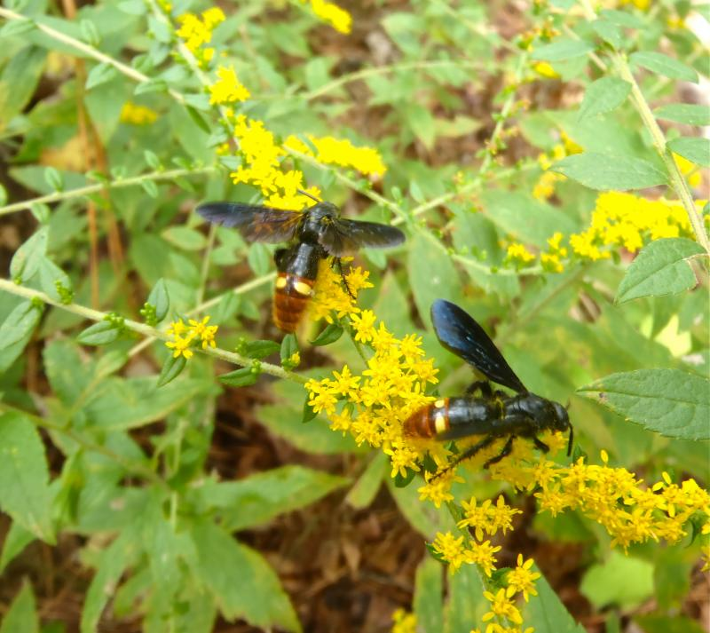 Scoliid Wasps on Fireworks goldenrod