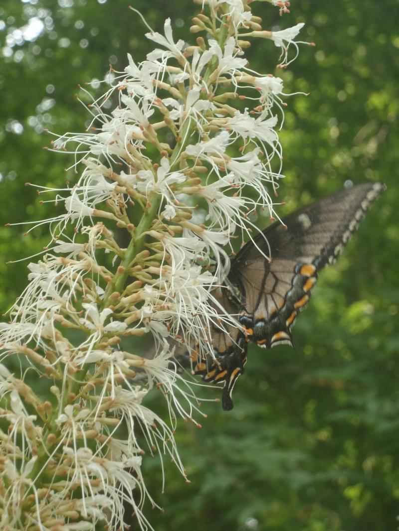 Swallowtail on Bottlebrush buckeye